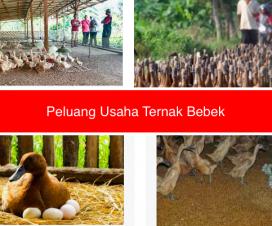 peluang usaha ternak bebek