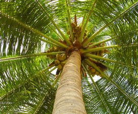 manfaat batang pohon kelapa